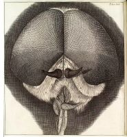 Robert Hooke, head and eyes of drone-fly, 1665